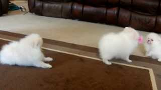 The Bomb Poms White Pomeranian puppies playing tug o war!