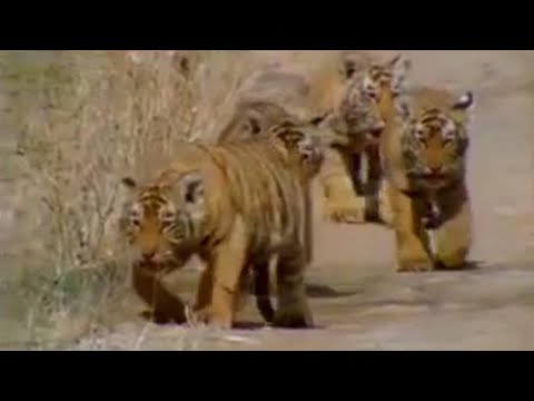 Xxx Mp4 Cute Baby Tiger Cubs And Population Tracking Battle To Save The Tiger BBC Wildlife Animals 3gp Sex