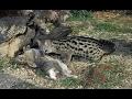Misk kedisi avlanma sanatı ► Amazing Genet Civet Cat attacks 2017