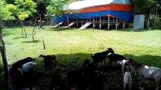 একটি আদর্শ ছাগলের  খামার কিভাবে করবেন দেখুন -A typical farm goat how to do view