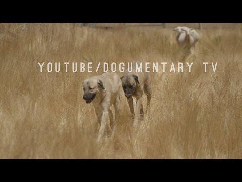 TURKISH KANGAL DOGS - ANATOLIAN SHEPHERDS - SIX THOUSAND YEARS OF LIVESTOCK GUARDING PERFECTED