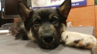 CAP 288. AITA necesita una operación urgente. Adoptas a esta preciosa cachorra pastor alemán?