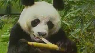 Panda Tertua China Mati Pada Usia 34 Tahun