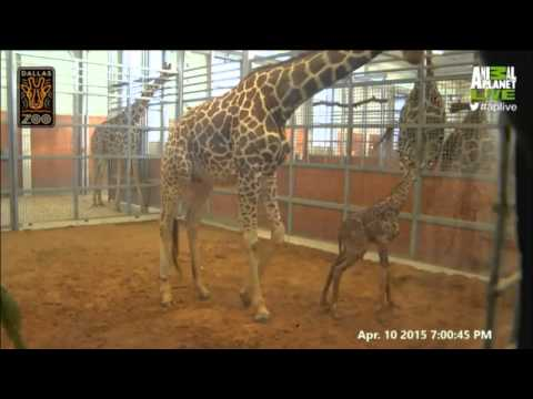 Katie the Giraffe Animal Planet LIVE Birth 4 11 15