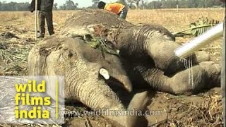 Poor injured elephant lies helpless on ground, awaiting relief and help