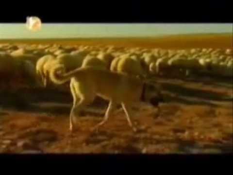 Bozkırın Gücü 1. kısım Sivas Kangal Köpeği Belgesel