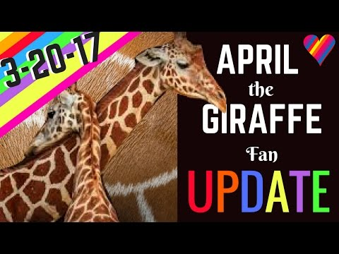 APRIL the GIRAFFE UPDATE 3 20 17 Labor Signs Physical Changes Birth is SO Near
