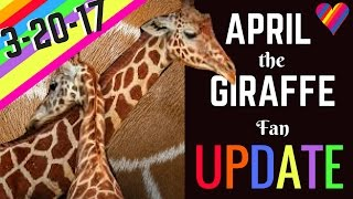 APRIL the GIRAFFE UPDATE 3-20-17: Labor Signs/Physical Changes! Birth is SO Near!