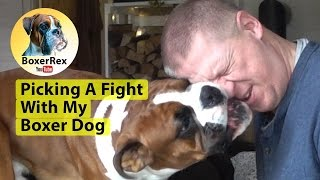 Picking A Fight With My Boxer Dog - Boxer Style!