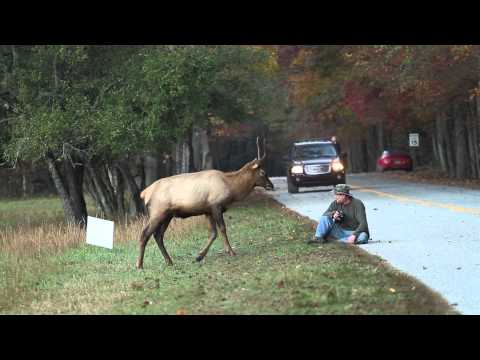 Elk vs. Photographer Great Smoky Mountains National Park