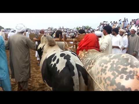 Talagang Bull Show Punjab Pakistan part 2