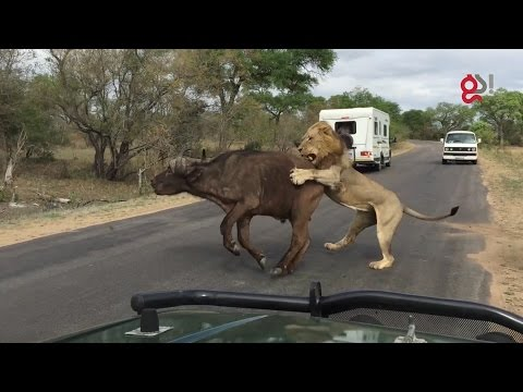 Xxx Mp4 Lions Attack Buffalo Meters From Tourists 3gp Sex