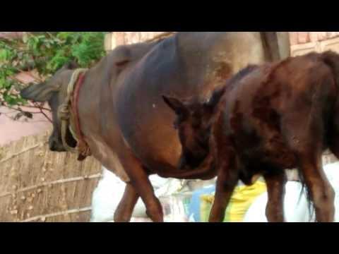 Cow X Video