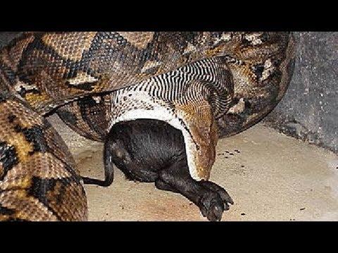 AS MAIORES COBRAS DO MUNDO Serpentes gigantes que existem de verdade