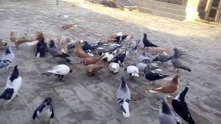 Ihsan pigeon Dikhan