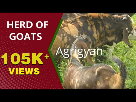 Herd Of Goats | Agrigyan