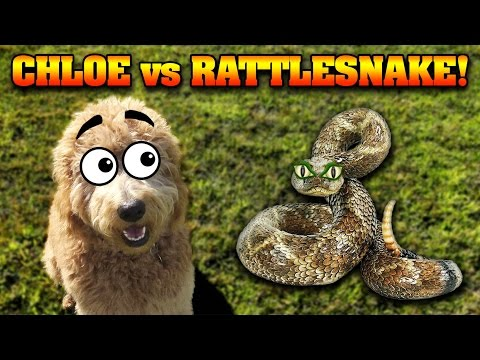 CHLOE vs. THE RATTLESNAKE