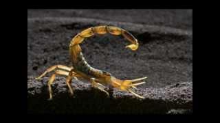 Top 10 scorpions les plus venimeux