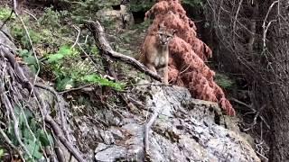 Mountain Lion (cougar, puma) - High Sierra Trail, CA