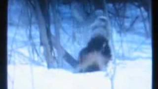 Wolverine vs Wolf Packs, WOLVERINE DESTROY WOLVES 7 DIFFERENT TIMES ON VIDEO !