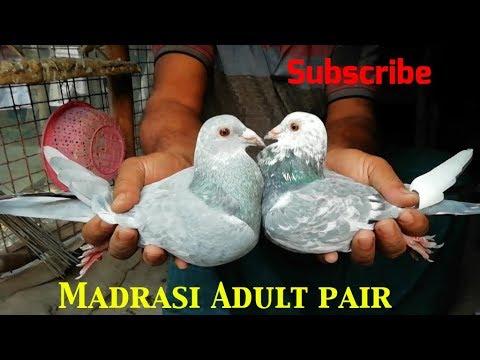 Xxx Mp4 Steel Colour Jira Madrasi Kabootar In Howrah By Raza Photography Technical 3gp Sex