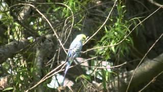 Budgie/Parakeet Flying Outside(Bo)(Волнистых попугаев)