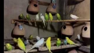 Australian Parrots.