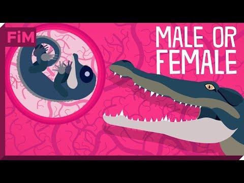 Xxx Mp4 The Crocodile S Unusual Sex Determination System Explained 3gp Sex