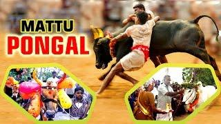 Mattu Pongal Celebration || Jallikattu Festival of Tamil Nadu