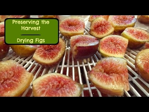 How to Dry Figs - How to Dehydrate Figs - Preserving the Harvest - Drying Figs