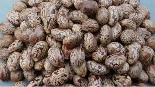 120 से अधिक रोगों की सबसे कारगर दवा यह एरंड /Ayurvedic use of castor oil planat (arand)