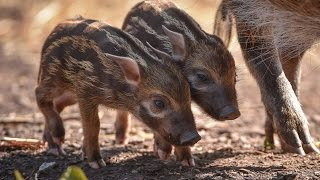 2 Pocket-Sized Baby Pigs Venture Outside With Mom for the First Time
