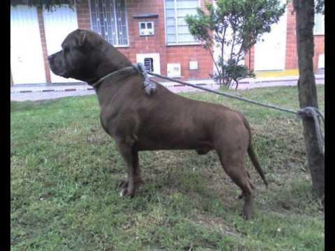 PITBULL el mejor perro para todo Mr Thánthor