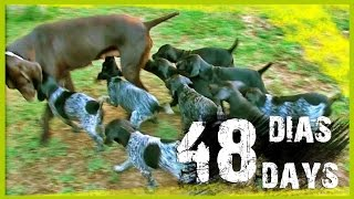 CACHORROS de BRACO ALEMAN con 48 DIAS | DEUTSCH KURZHAAR (GSP) PUPPIES 48 DAYS