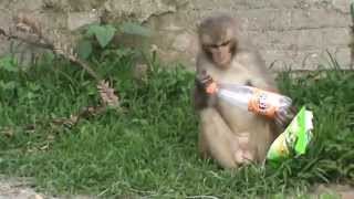 Invasion of Junk Food: Monkey tries to open Fanta bottle, licks potato chips packet