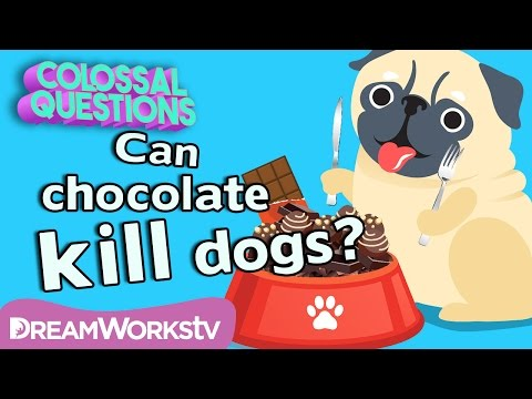 Will Chocolate Kill Your Dog? | COLOSSAL QUESTIONS
