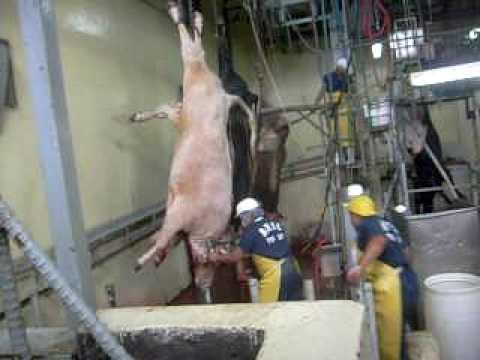 Matadero matando ganado