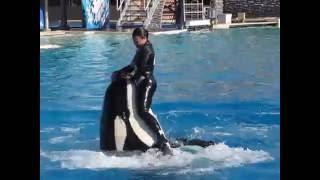 عرض الحيتان القاتلة بسان دييجو 2 San Deigo Seaworld's Shamu