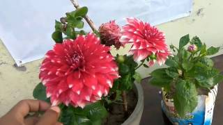 If your dahlia not blooming... see this video must || dahlia plant care and tips