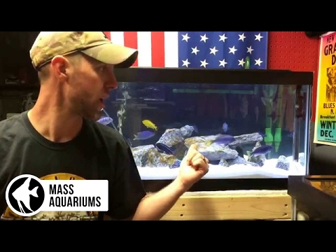 How to set up an African Cichlid tank. 4 easy steps Mbuna