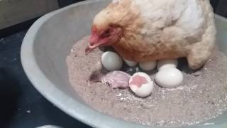 Chicken laying egg close up - photo#15
