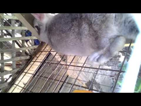 Xxx Mp4 My Rabbit Bane Is 34 Days Pregant But Dtill Not Giving Birth 3gp Sex