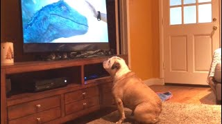 Bulldog Reacts To Jurassic World: Fallen Kingdom Trailer, Nearly Destroys TV