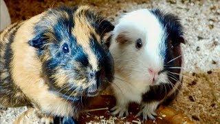 Vlog: Feeding the Guinea Pigs