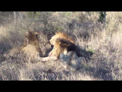 Two male lions attack and kill another male lion Video 2