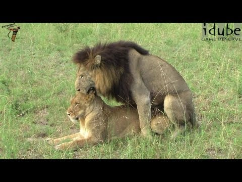 Xxx Mp4 WILDlife Lion Mating Rituals Witnessed In South Africa 3gp Sex