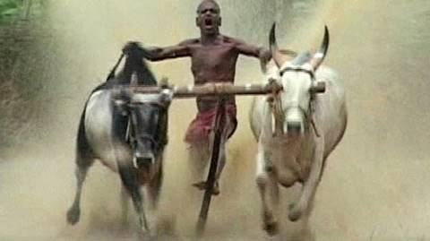 India cattle race no comment
