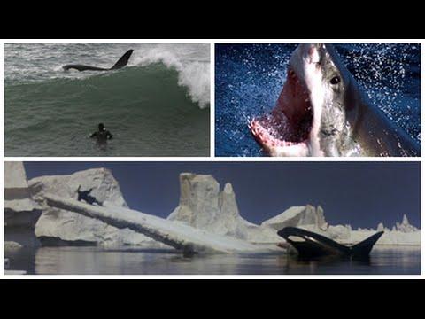 Tubarão Branco e Orca Assassina Ataques no Mar Monstros Marinhos