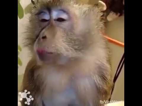 Xxx Mp4 Sajna Hai Mujhe Sajna Ke Liay Monkey In Parlour Funny Clip 3gp Sex