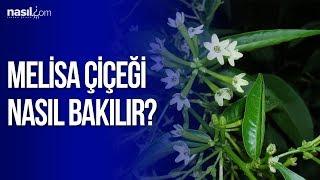 Melisa çiçeği bakımı nasıl yapılır?   Nasil.com